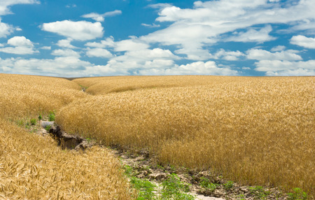 soil erosion: Summer, wheat field and soil erosion