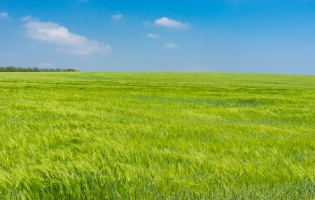 Landscape with unripe wheat field in May, central Ukraine Stock Photo