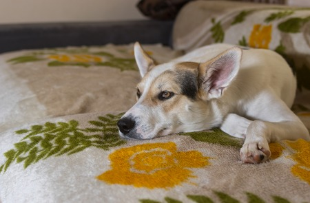 bedspread: Cross-breed of hunting and northern dog lying on a sofa and watching Stock Photo