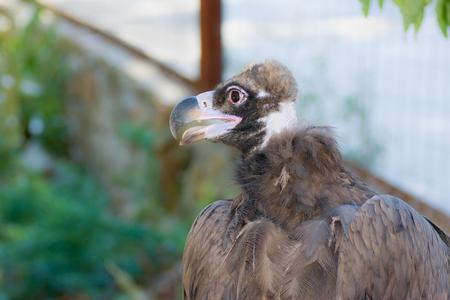 Portrait of Black Vulture (Aegypius monachus). Stock Photo