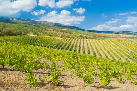 Rows of young vineyards in Crimean mountains near Gurzuf resort. Stock Photo