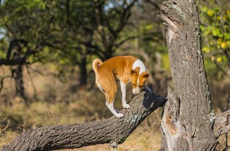 Wild Basenji dog climbs nearest tree at fall season Banco de Imagens