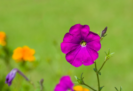 nightshade: Beautiful petunia flower on a green natural background.