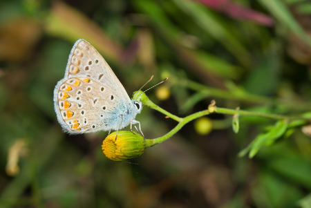 Common Blue (Polyommatus icarus) butterfly on a small wild yellow flower.