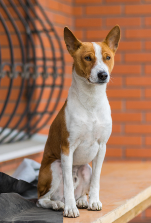 territory: Outdoor portrait of mature Basenji dog sitting on a wooden surface
