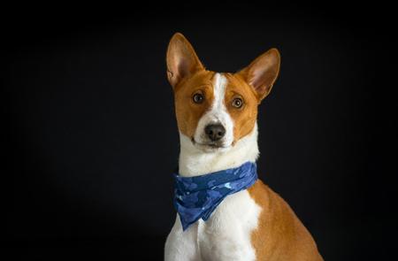 fop: Portrait of stylish basenji dog male wearing blue kerchief