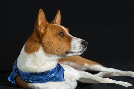 fop: Portrait of stylish basenji dog male lying on a black surface  Stock Photo