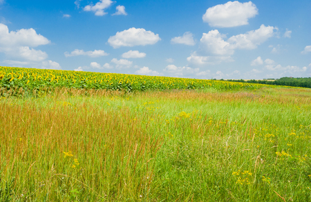 Ukrainian rural landscape at summer - field with sunflower, steppe and blue sky. Stock Photo
