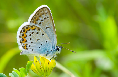 Common Blue (Polyommatus icarus) butterfly on a wild yellow flowers