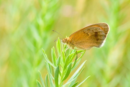 fulvous: Brown butterfly with spotted eyes having rest on a stern.