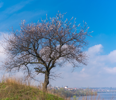 dnepr: Wild lonely apricot tree on a hilly riverside at flowering time against blue spring sky Stock Photo