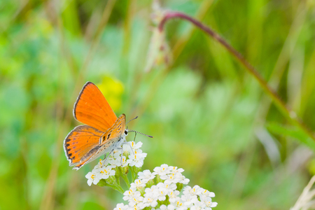 sucks: Orange butterfly sucks nectar from white flowers Stock Photo