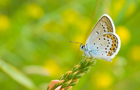 Common Blue (Polyommatus icarus) butterfly on a wild flowers