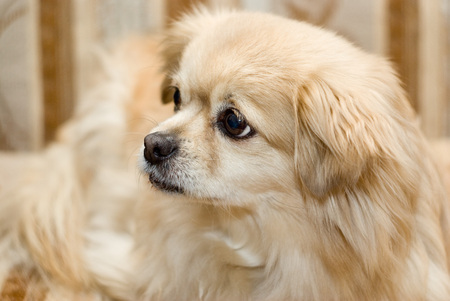 Portrait of long haired chihuahua closeup.