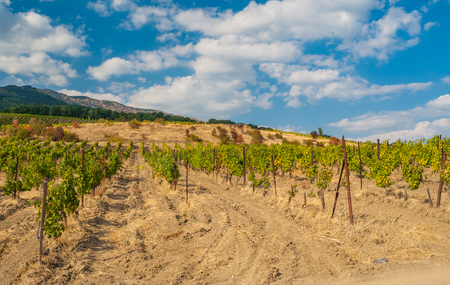 Landscape with rows of young vineyards in Crimean mountains at fall season