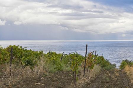 Neglected vineyard on a Black Sea shore, Crimea, Ukraine.