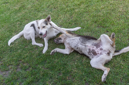 spaying: Pair of young cross-breed stray dogs playing on a spring grass in park Stock Photo