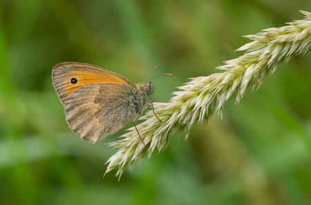 Meadow brown (Maniola jurtina) butterfly sitting on a small spikelet  in shadows of summer herbs