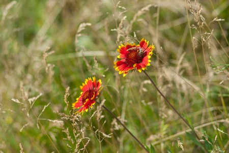 feral: Beautiful feral Indian blanket flowers with bee guest in a summer wild field