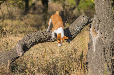 Wild Basenji dog jumping off from nearest tree at fall forest