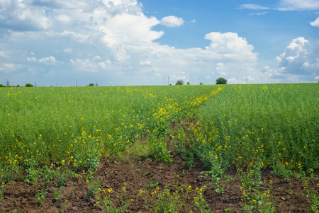 A field with flowering rape. Stock Photo
