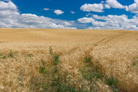 expanse: July landscape with blue sky, white clouds and ripe wheat field in central Ukraine