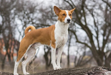 Mature Basenji dog looking around standing on a tree branch