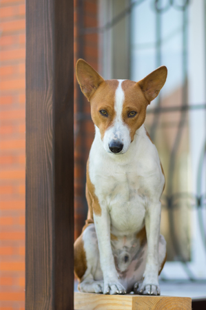 Royal basenji dog looking down while sitting against the house it lives Stock Photo