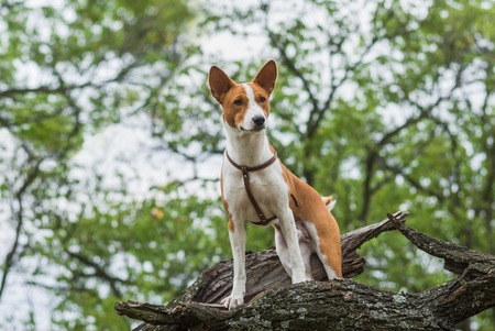 Brave Basenji dog standing on a tree branch and looking down