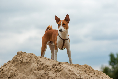 Basenji dog standing on a heap of sand and looking down Banco de Imagens
