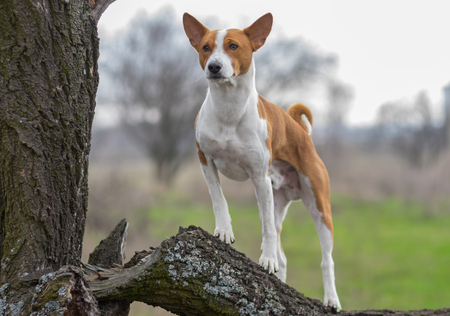 Mature Basenji dog looking around its territory standing on a tree branch Stock Photo