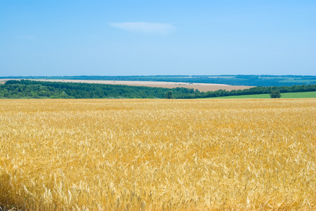 Summer landscape with wheat field