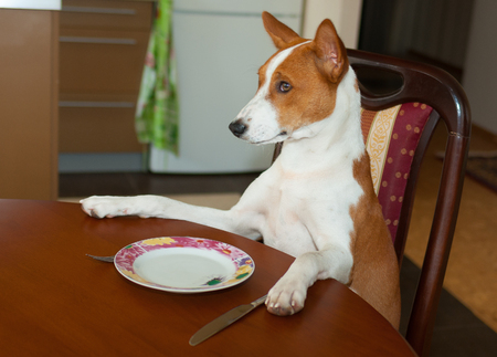 Masterful Basenji is sitting at the dinner table and waiting for the service by master-waiter