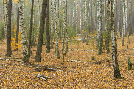 Landscape with broken birches in autumnal mixed forest in central Ukraine