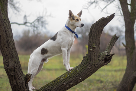 White cross-breed dog standing on an apricot tree branch and watching for enemies at fall season Imagens
