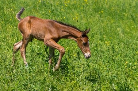 Newborn foal doing first steps on a spring pasture Stock Photo