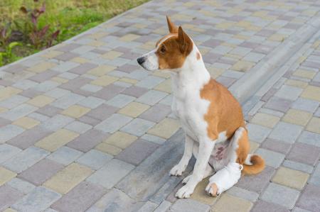 Cute basenji dog with broken bandaged hind feet sitting on a pavement Stock Photo