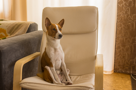 Funny tired Basenji dog sitting in a chair after hard home day being alone and waiting for the master