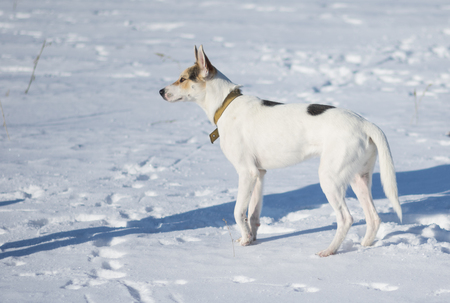 Cute mixed breed white dog with black spots sstanding on a fresh snow at sunny winter day