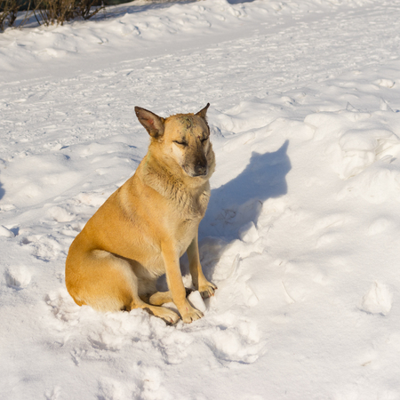 Cute mixed breed stray dog with scars received in street dog fights relaxing under winter sun while sitting on the snow Stock Photo