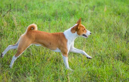 Young basenji dog running in an autumnal field