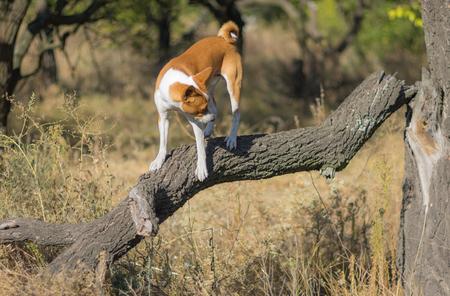 Wild Basenji dog walking on a broken branch of nearest tree