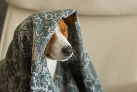 Indoor portrait of royal basenji dog nodding under coverlet in favorite chair closely Stock Photo
