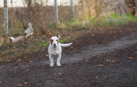 Outdoor portrait of young white and stocky mixed breed dog ready to defend its territory