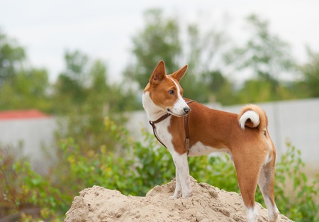 Basenji dog standing on a heap of sand and looking back