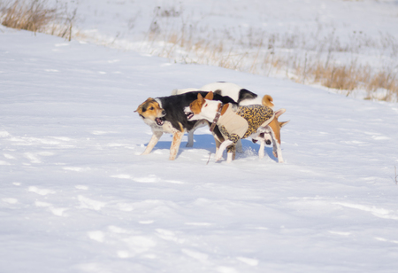 Black and white mixed breed dogs attacks basenji dog while playing on a fresh snow