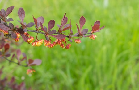 Branch of barberry shrub with many flowers in early spring garden (shallow dof) Stock Photo