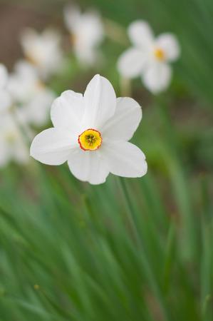 White narcissus flower