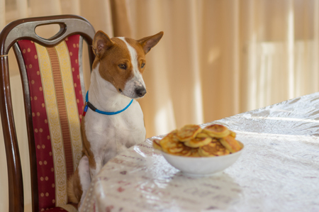 Basenji dog sitting on a chair at dinner table and hypnotizing plate of pancakes it would steal