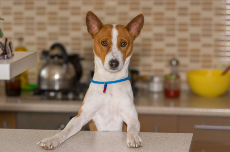 Portrait of basenji dog posing on the kitchen Stock Photo